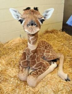 bebe jirafa